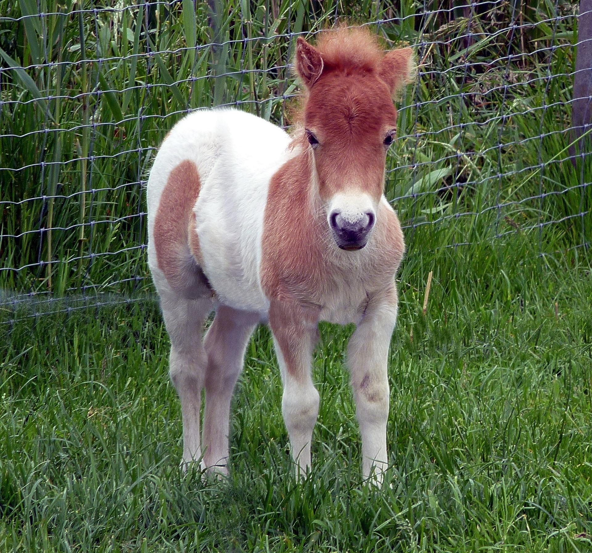 Shetland Pony Groombridge